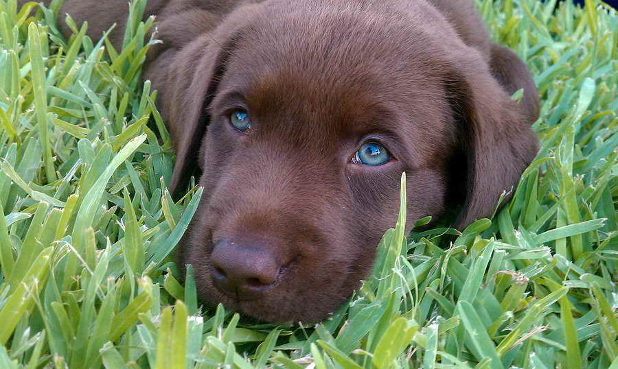 Blue Eyed Labrador Puppies For Sale Pets And Dogs
