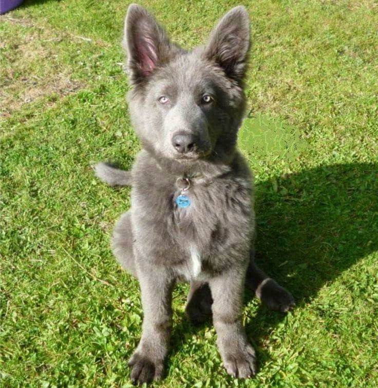 Blue German Shepherd Dogs Pets And Dogs