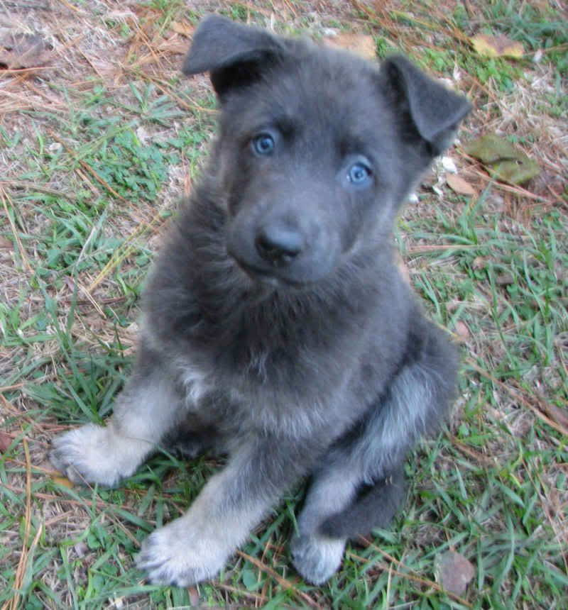 Blue German Shepherd Puppy