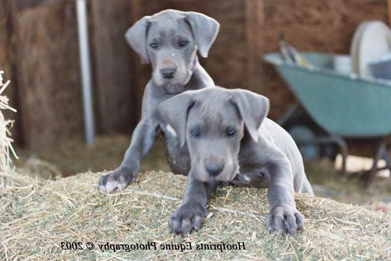 Blue Great Dane Puppies For Sale In VA   PETSIDI