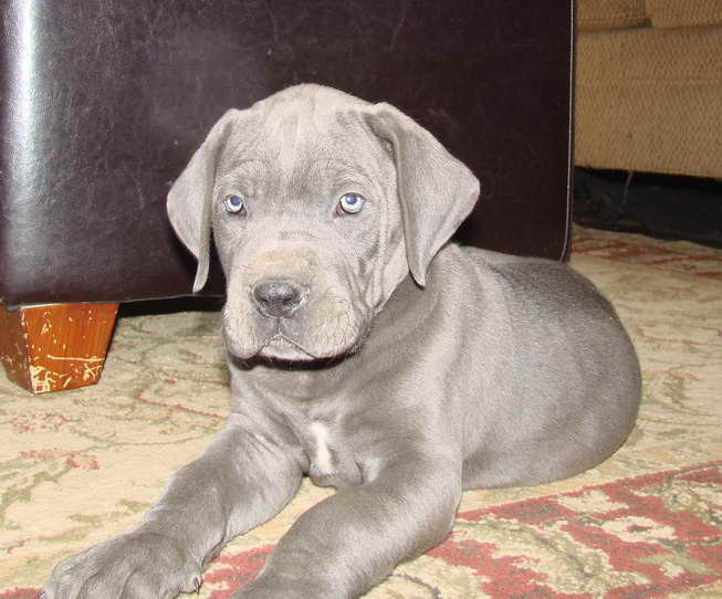 Blue Great Dane Puppies For Sale Near Me – Pets and Dogs