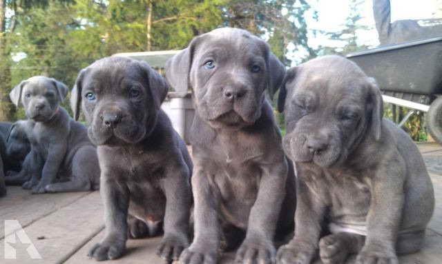 Blue Italian Mastiff Puppies