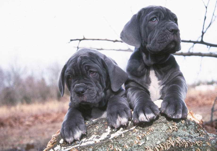 Blue Mastiff Pups