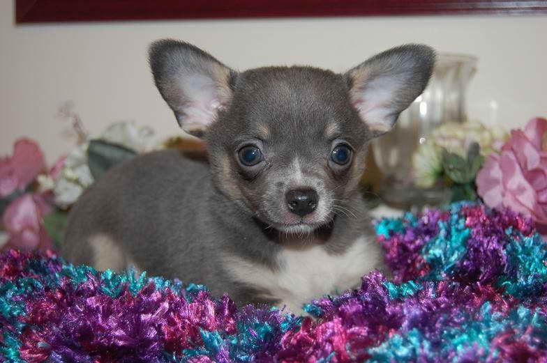 Blue Merle Chihuahua Puppy For Sale Pets And Dogs