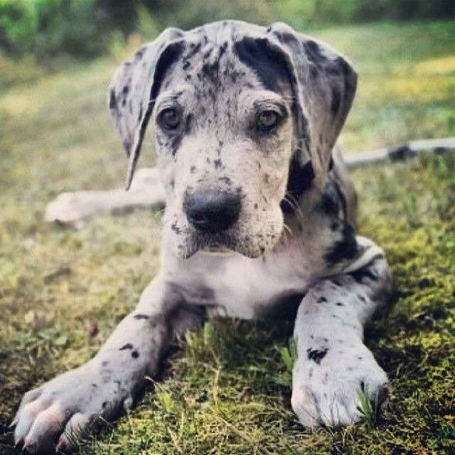 Merle Great Dane Puppies