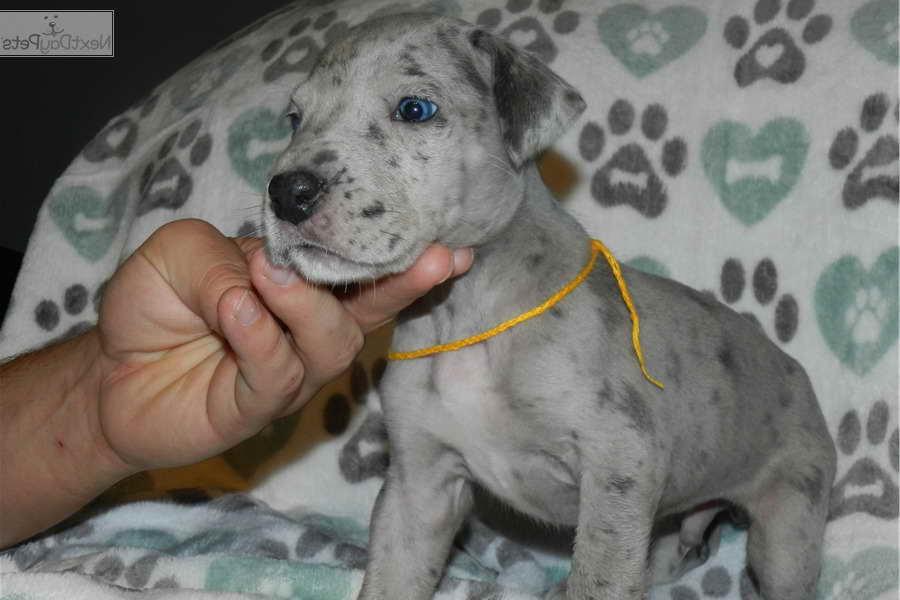 Blue Merle Great Dane Puppy For Sale Petsidi