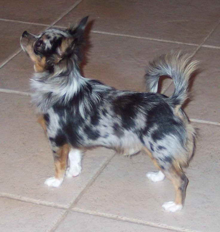 blue merle chihuahua for sale blue merle long haired chihuahua puppies for sale pets 8330