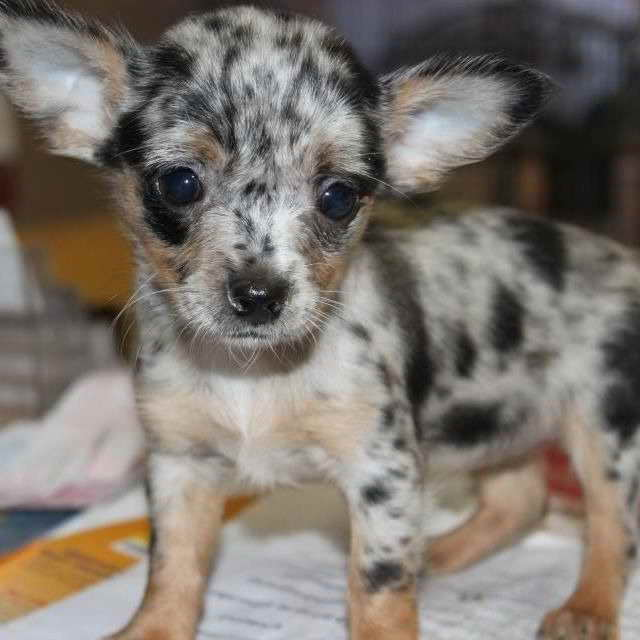 blue merle chihuahua for sale blue merle teacup chihuahua puppies sale pets and dogs 3523