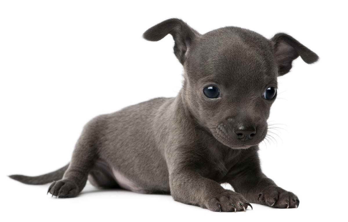 Blue Nose Pitbull Chihuahua Mix Petsidi