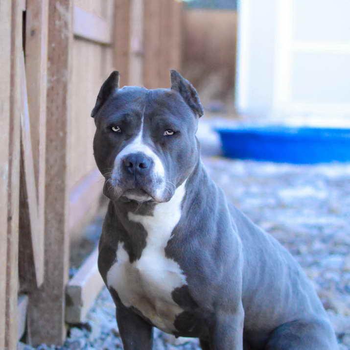Blue Pit Bull Terrier Puppies Petsidi