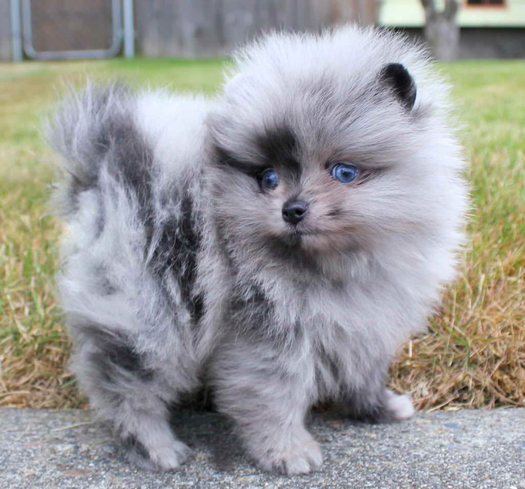 blue pomeranian for sale blue pomeranian puppies for sale pets and dogs 3242