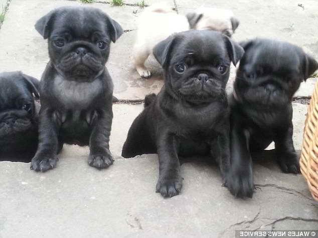 Blue Pug Puppies For Petsidi