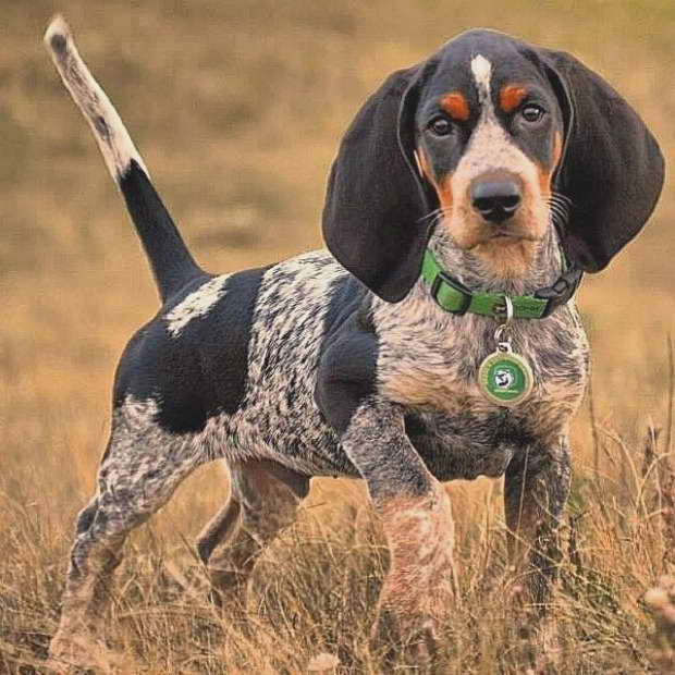 Blue Tick Beagle Puppies For Sale In Ohio