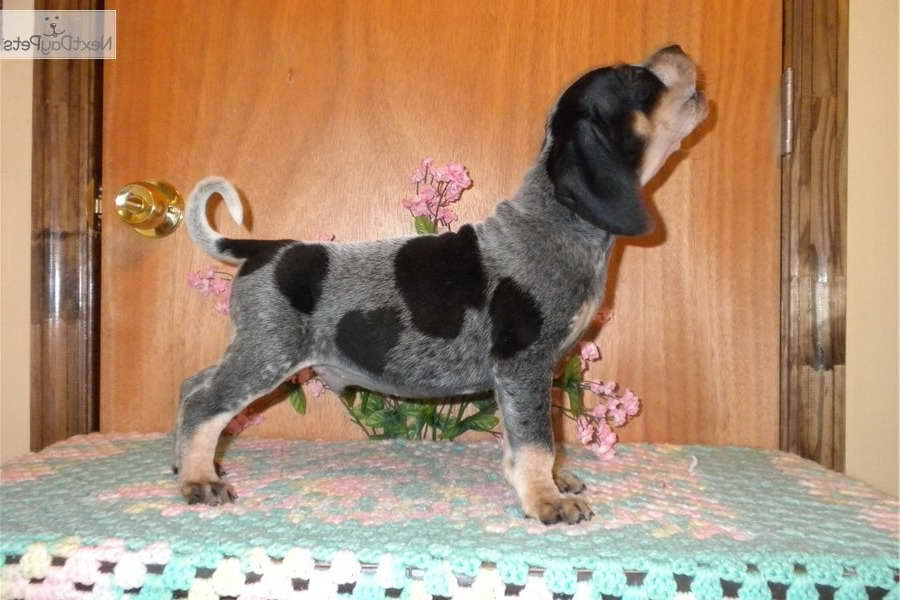 Blue Tick Beagle Puppies For Sale In Pa Pets And Dogs