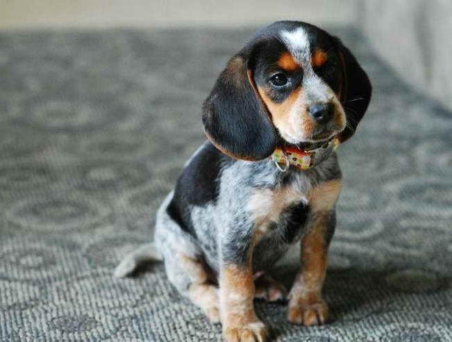 Blue Tick Beagle Puppies Goldenacresdogscom