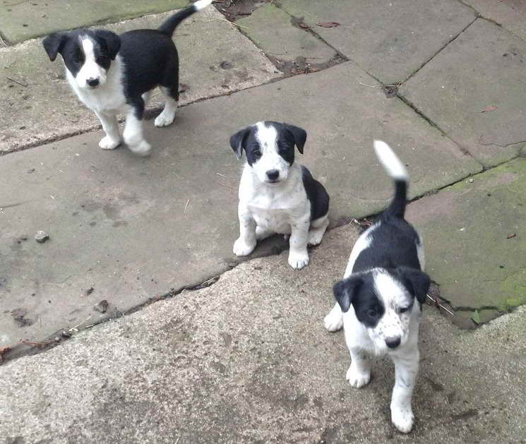 border collie jack russell terrier mix border collie jack russell mix puppies for sale pets and 9698