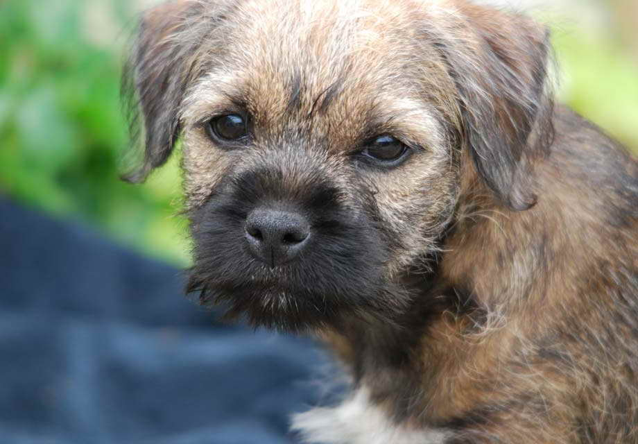 Border Terrier Rescue Near Me