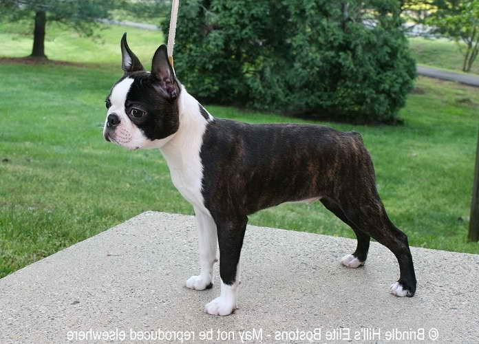 new york terrier boston terrier breeders new york pets and dogs 3346