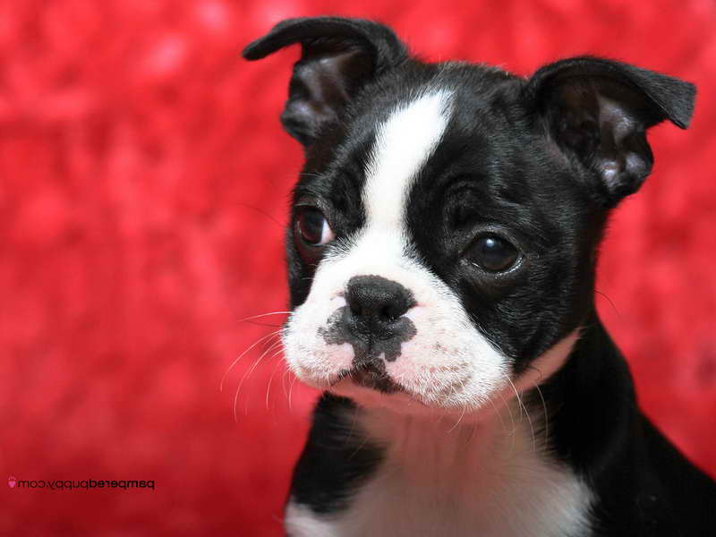boston terrier breeders wi boston terrier breeders wi pets and dogs 4005