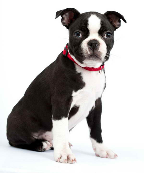 boston terrier and chihuahua boston terrier chihuahua mix puppies pets and dogs 1757