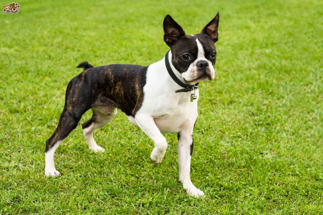 boston terrier brindle boston terrier colors brindle white pets and dogs 6158
