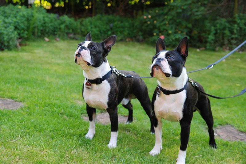 boston terrier cost boston terrier cost pets and dogs 6974