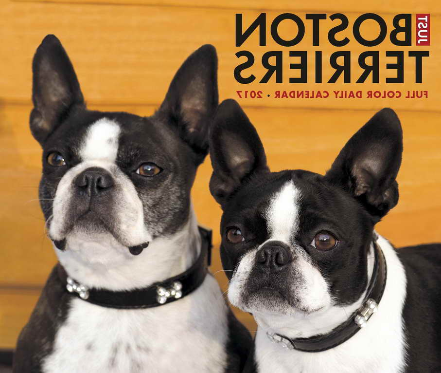 boston terrier breeders wi boston terrier for sale wisconsin pets and dogs 215