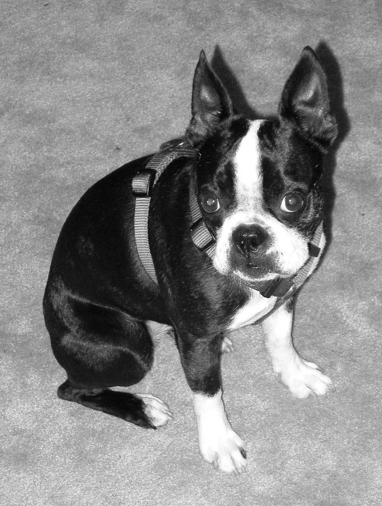 boston terrier texas boston terrier houston tx pets and dogs 8764