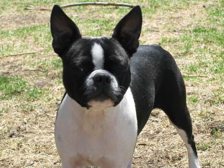 boston terrier potty training boston terrier potty training pets and dogs 4909