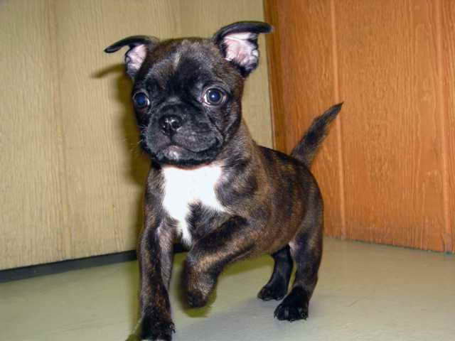 boston terrier pug mix puppies for sale boston terrier pug mix for sale pets and dogs 4722