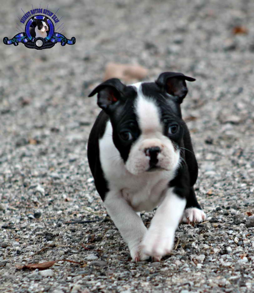 Boston Terrier Puppies Charlotte Nc Pets And Dogs