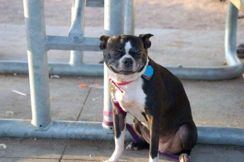 Boston Terrier Puppies For Sale Austin Texas