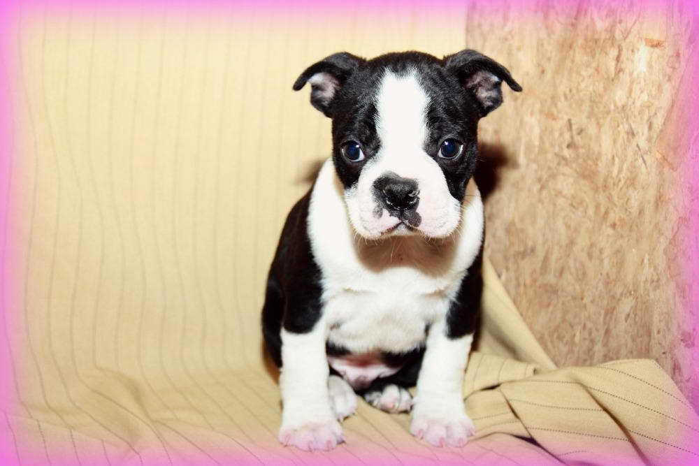 Boston Terrier Puppies For Sale Craigslist | Pets and Dogs