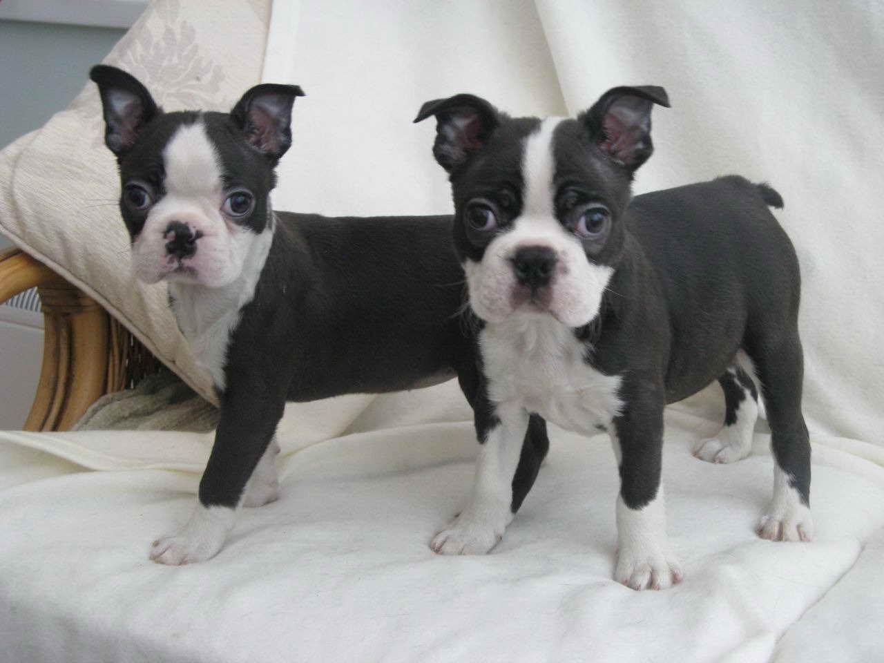 Boston Terrier Puppies For Sale Houston