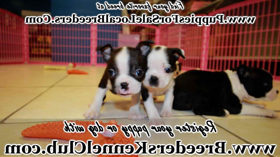 Boston Terrier Puppies For Sale In Atlanta