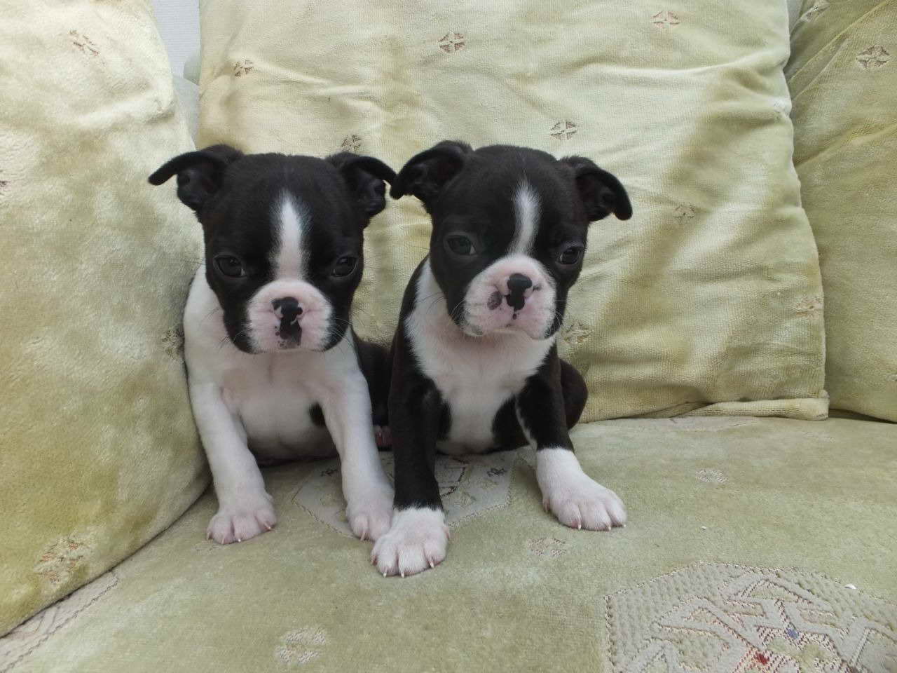 boston terrier puppies kansas boston terrier puppies for sale in kansas pets and dogs 6597