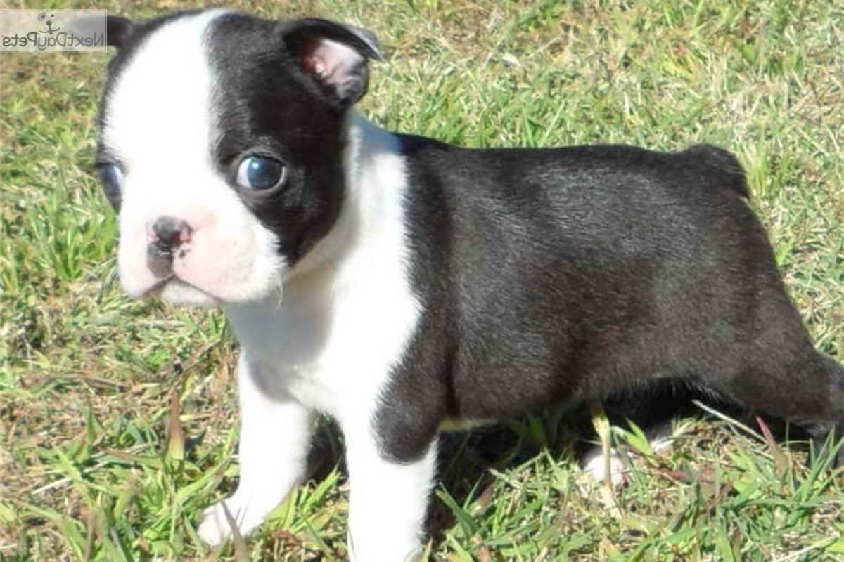 Boston Terrier Puppies For Sale In Minnesota | PETSIDI