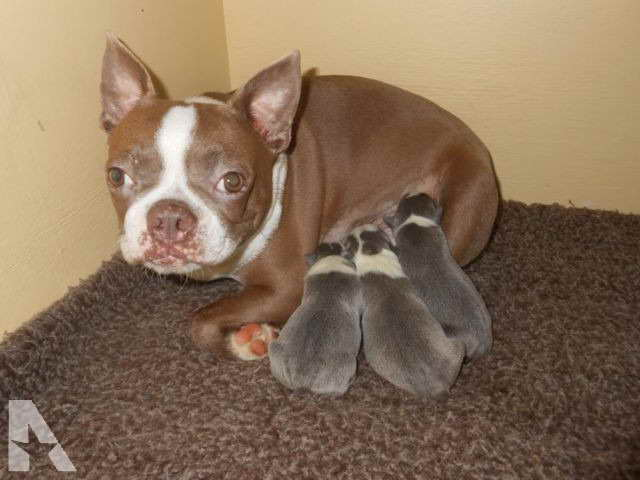 Boston Terrier Puppies For Sale In Nc Pets And Dogs