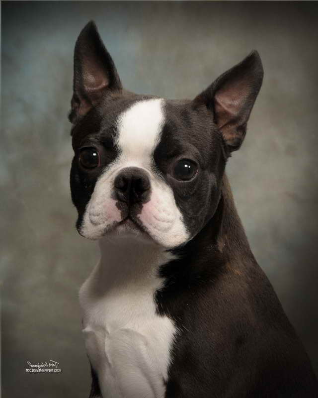 Boston Terrier Puppies For Sale In Nd | PETSIDI