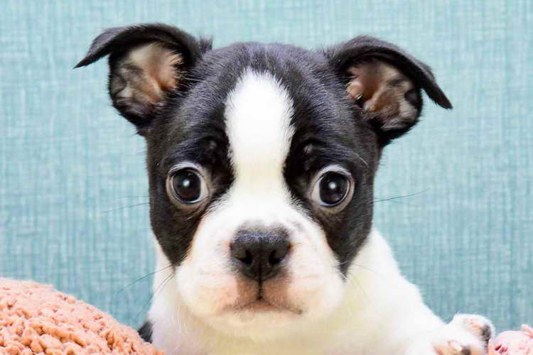 Boston Terrier Puppies For Sale In Ohio Pets And Dogs