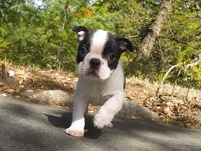 Boston Terrier Puppies For Sale In Washington | PETSIDI