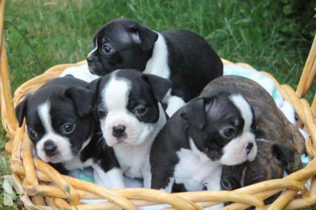 boston terrier puppies for sale oregon boston terrier puppies for sale portland oregon pets and 1537