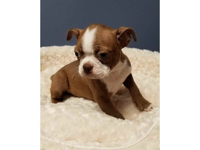 Boston Terrier Puppies For Sale San Antonio – Pets and Dogs