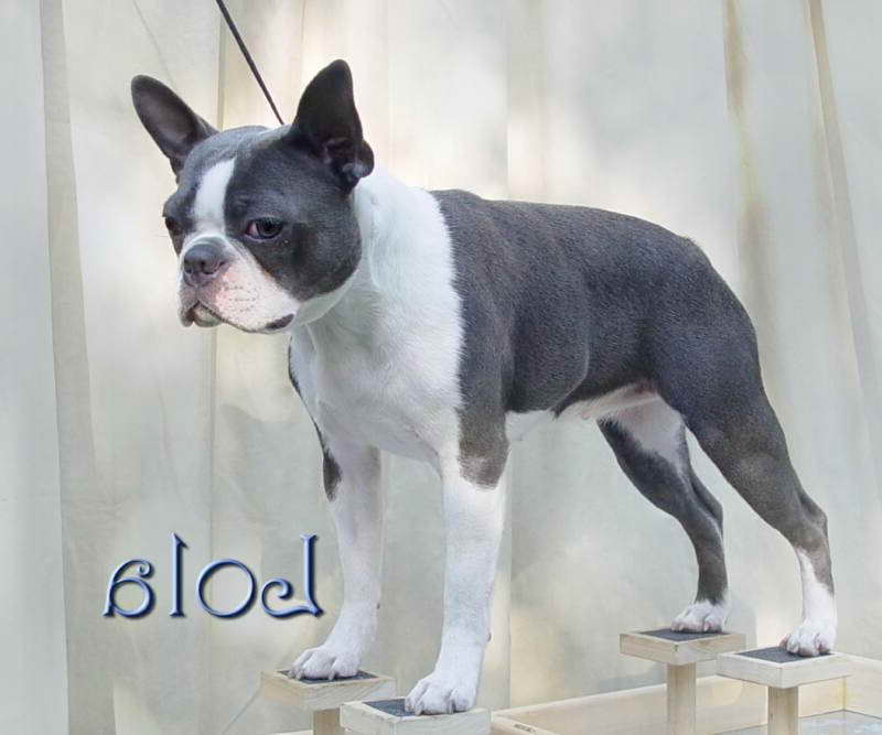 Boston Terrier Puppies Michigan Pets And Dogs