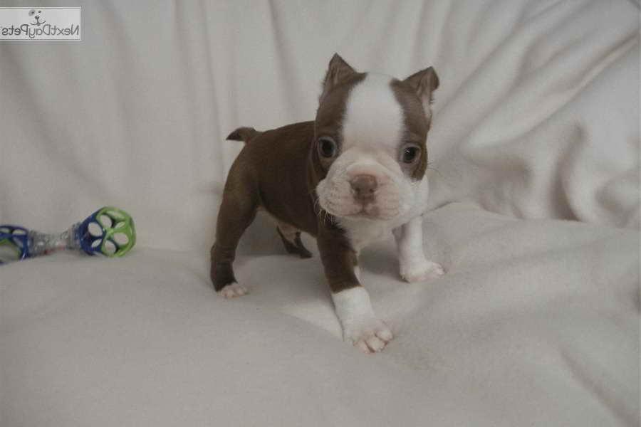 Boston Terrier Puppies Nashville Tn Petsidi