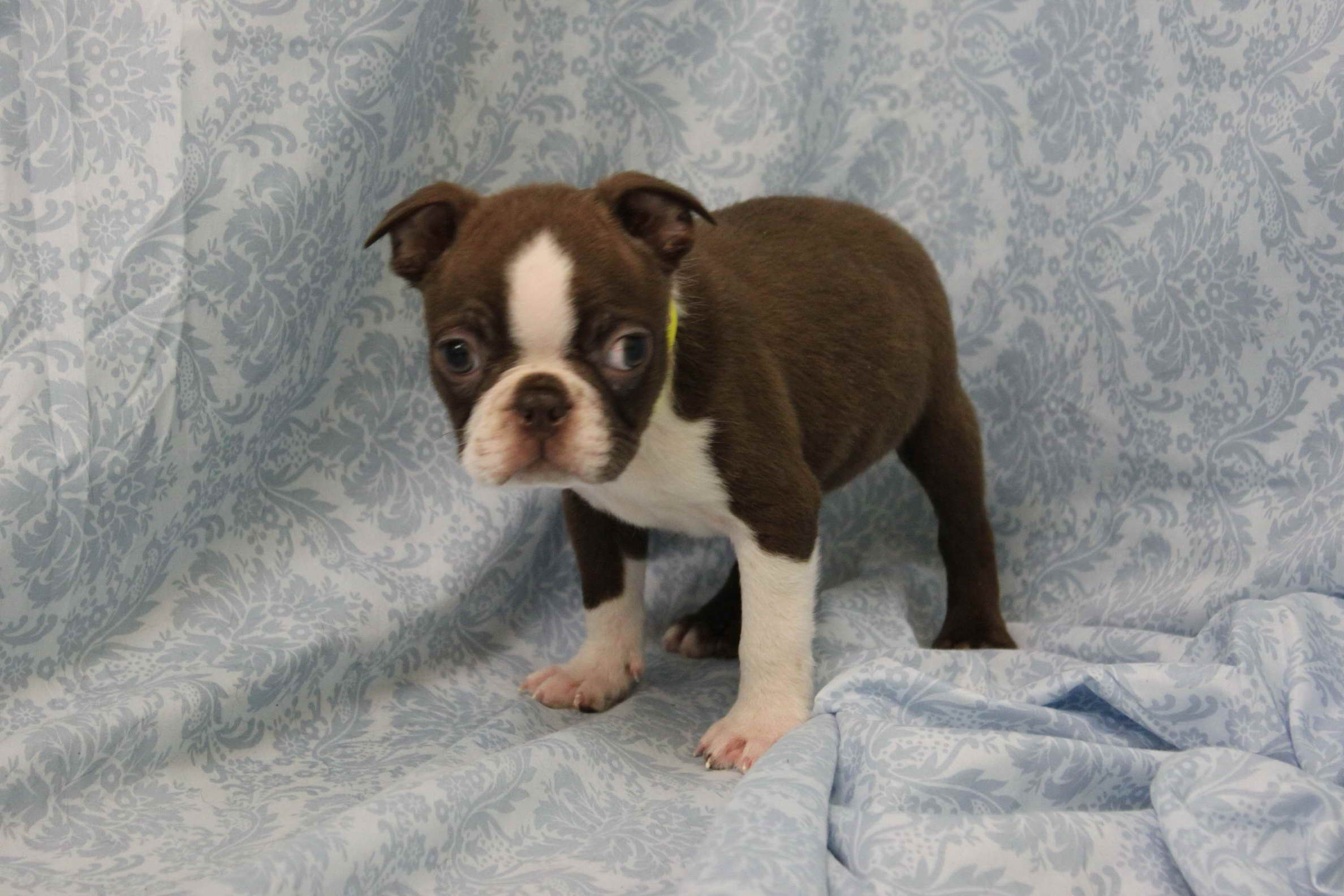 boston terrier breeder nj boston terrier puppies nj pets and dogs 3079