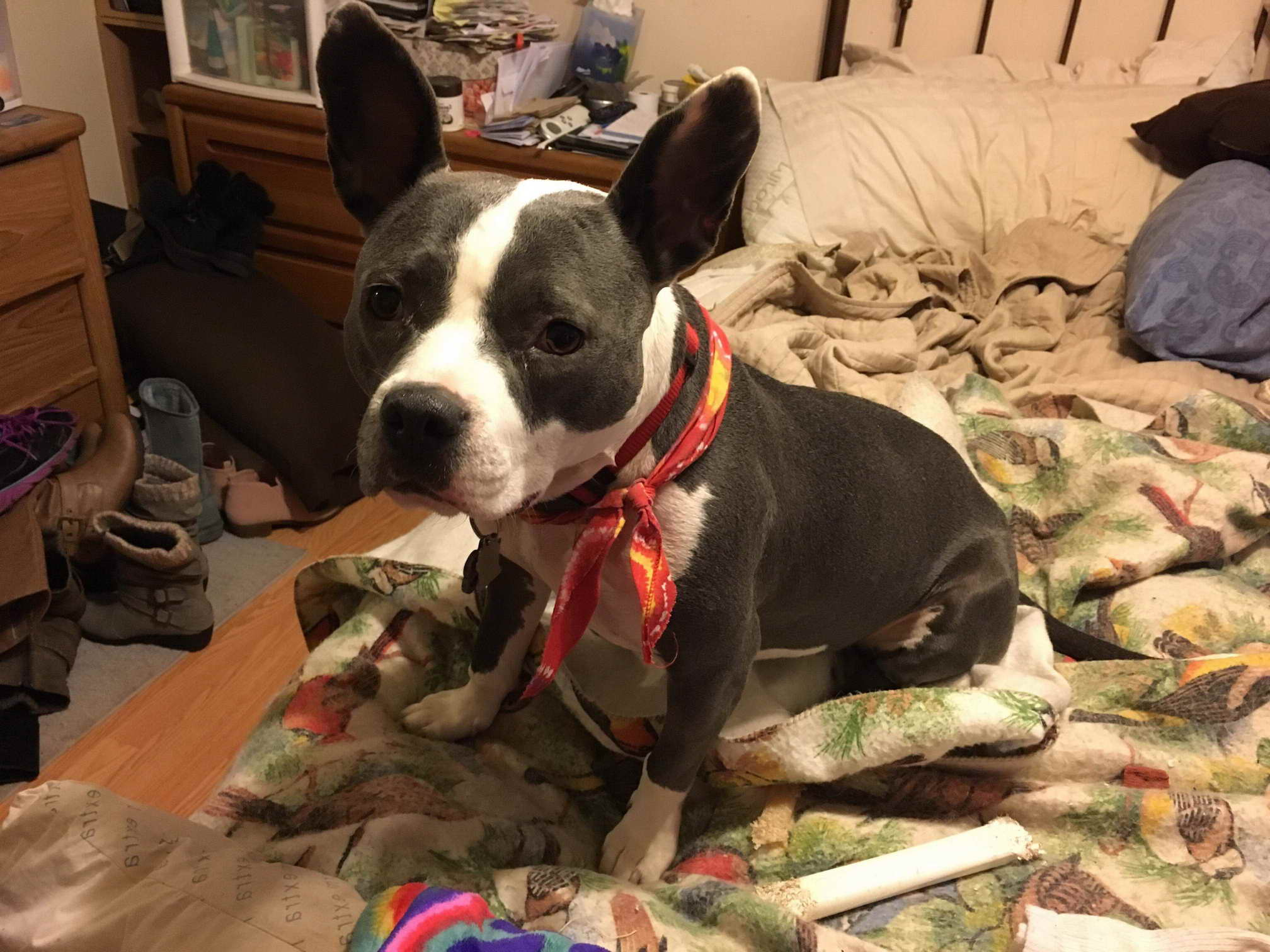 Boston Terrier Puppies Rochester Ny Pets And Dogs