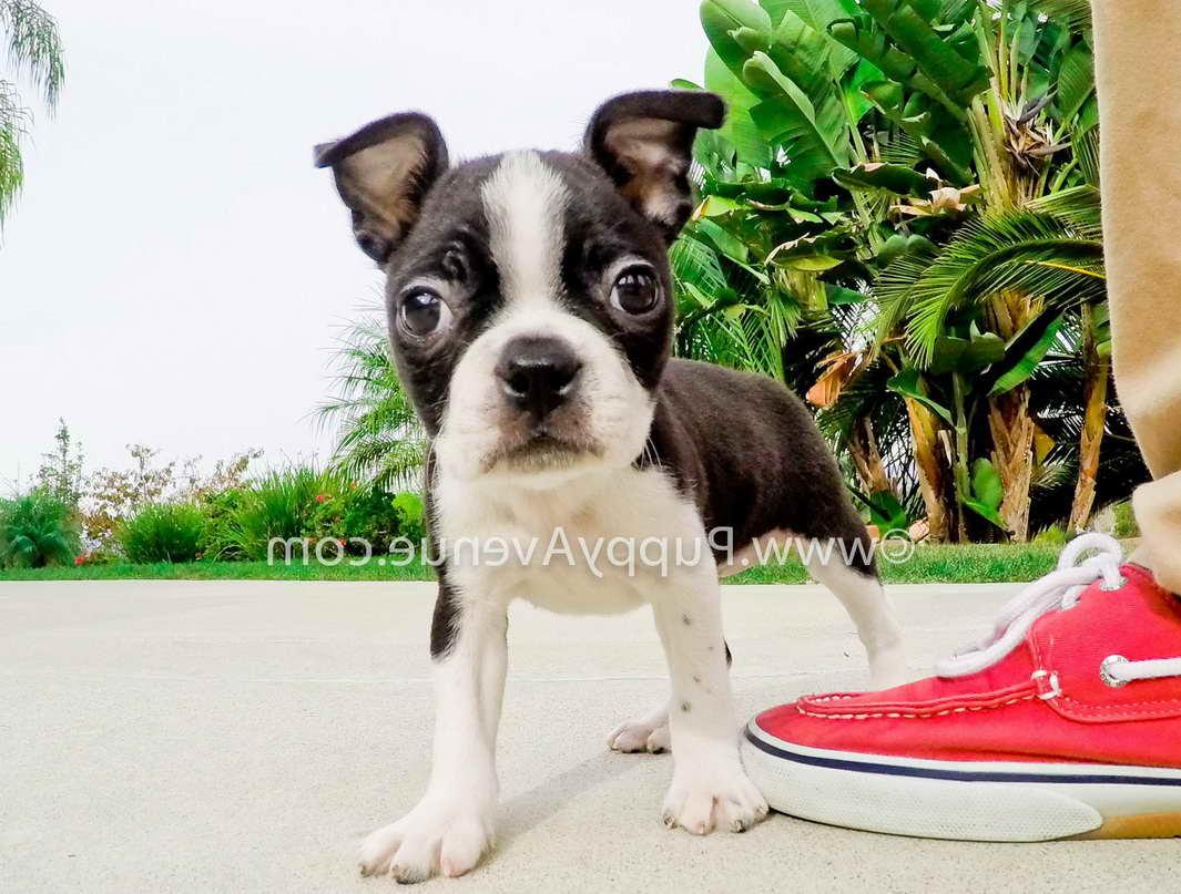 Boston Buddies, Southern California Boston Terrier Rescue ...