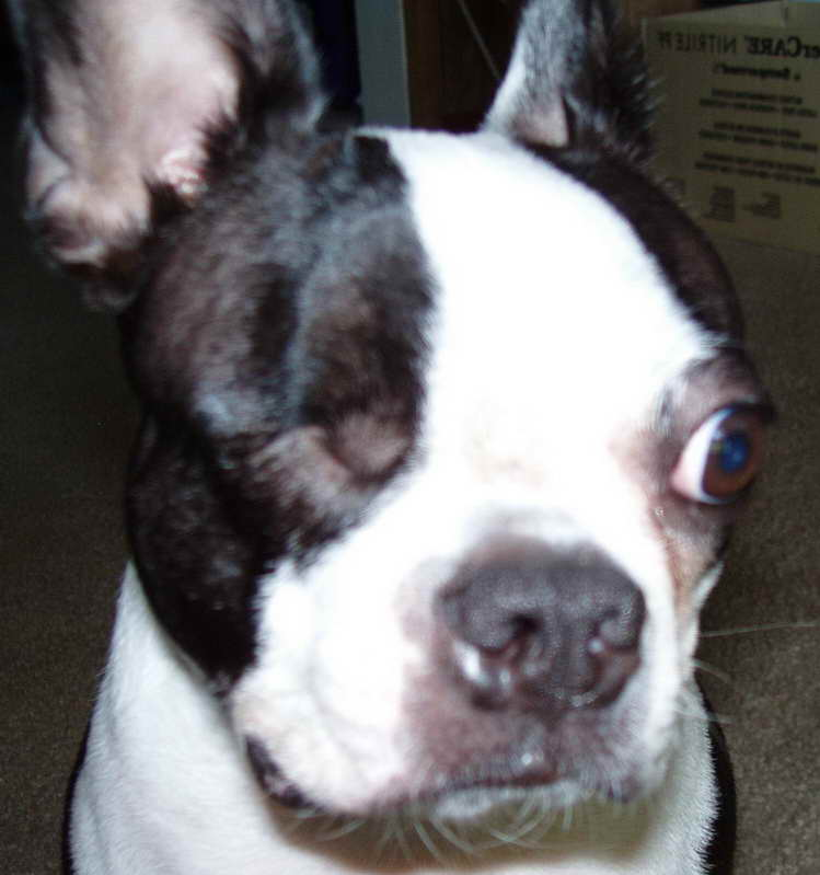 boston terrier puppy wisconsin boston terrier puppies wisconsin pets and dogs 2061