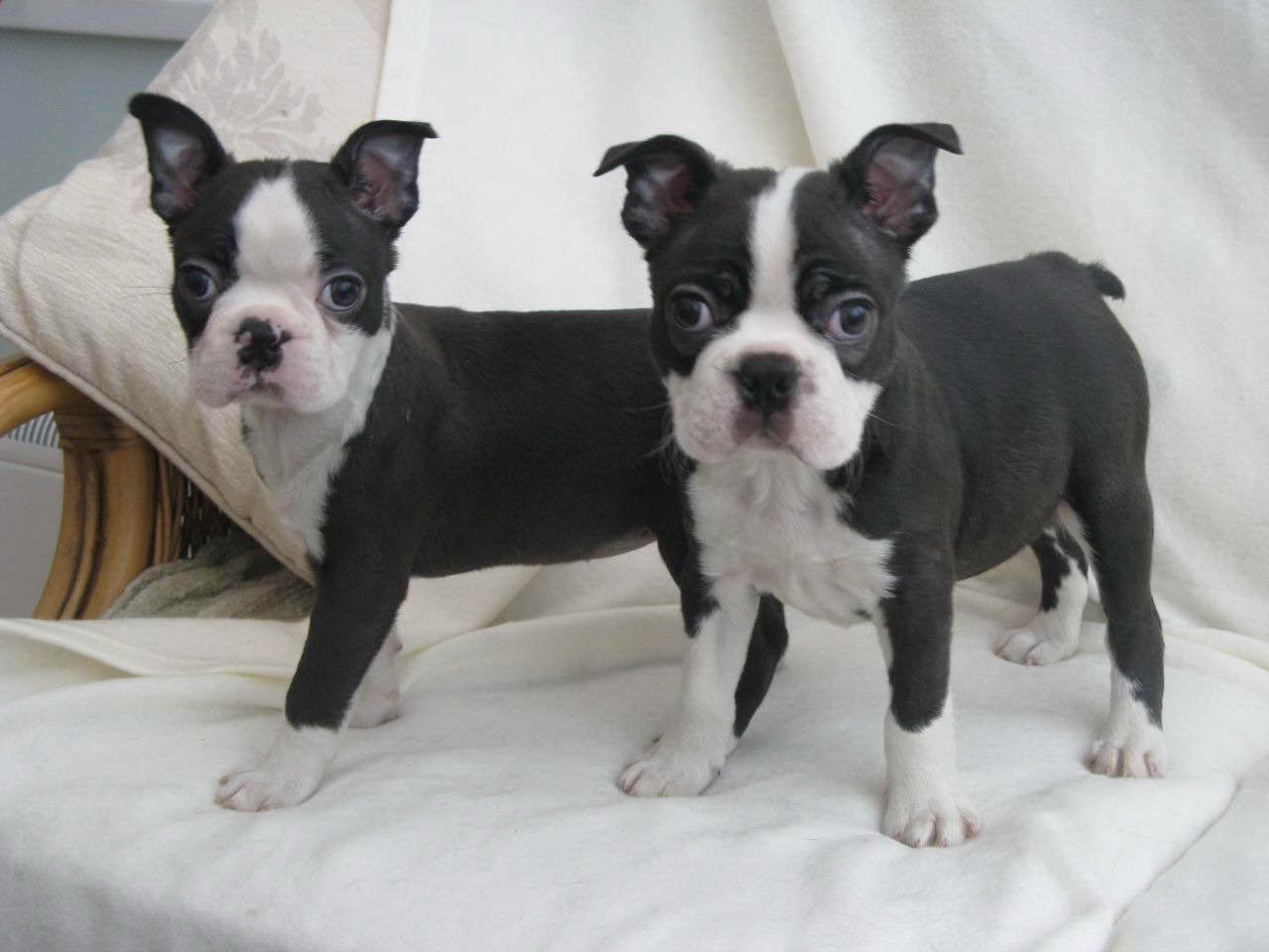 Boston Terrier Puppy Breeders
